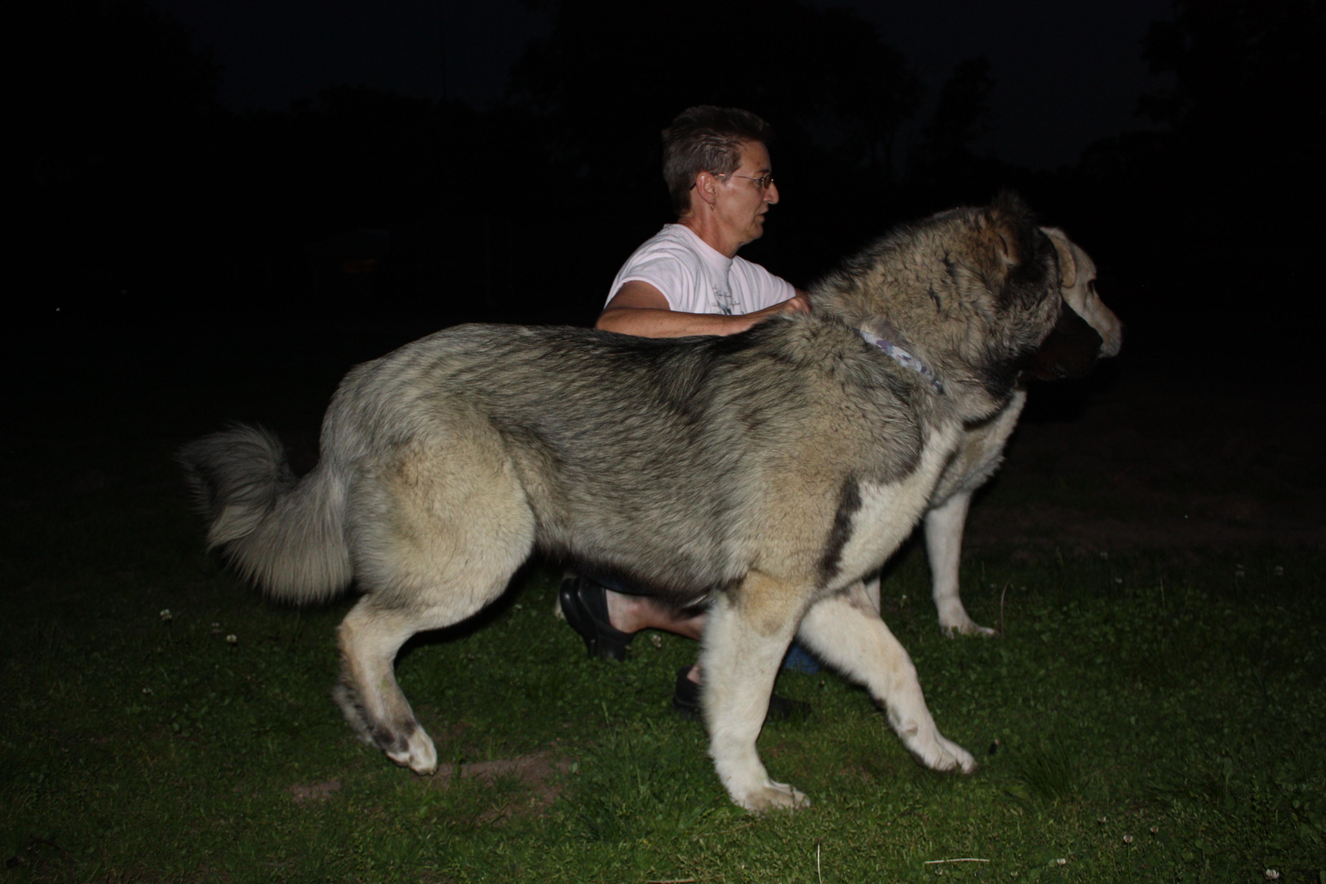 Armenian Gampr Dog For Sale